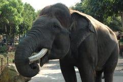 Un éléphant avec l'ivoire cassé photos libres de droits