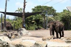 Un éléphant dans l'Australie de zoo de Taronga Images stock