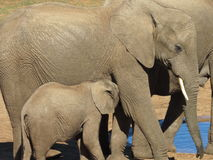 Un éléphant de bébé avec sa mère Image libre de droits