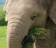 Un éléphant de chéri Photo libre de droits