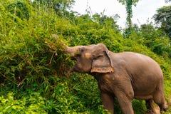 Un éléphant mange à la jungle en Chiang Mai Thailand image stock