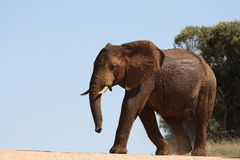 Un éléphant traversant la route Image stock
