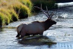 Un élan de taureau de Yellowstone traversant une rivière Photo stock