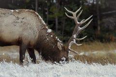 Un élan mûr de taureau mange l'herbe pendant l'hiver Photographie stock