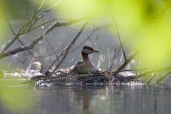 Un élevage à col rouge adulte de grisegena de Podiceps de grèbe sur son nid de flottement dans un étang de ville dans la capitale photographie stock