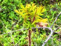 Un élevage d'arbre de sumac Images stock