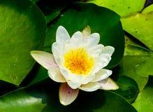 Un élevage de lotus Image stock