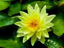 Un élevage de lotus Photographie stock libre de droits