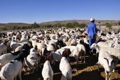 Un éleveur de moutons namibien dans le Kalahari namibien Photos libres de droits