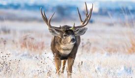 Un énorme mâle de cerfs communs de mule un matin froid après une tempête de neige images stock