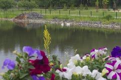 Un étang avec des cygnes sur le fond des fleurs Photographie stock libre de droits