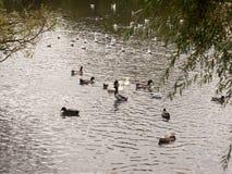 Un étang de piscine ci-dessous a sali avec des canards dans le pays Image libre de droits