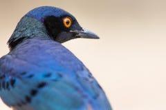 Un étourneau superbe coloré en Tanzanie images stock