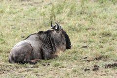 Un ñu que se sienta en la hierba durante la lluvia Imagen de archivo libre de regalías