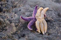 Un abbraccio di due stelle marine come gli amanti Immagine Stock Libera da Diritti