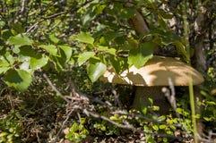 Un abedul del ander del boleto del anaranjado-casquillo de la seta del álamo temblón Foto de archivo