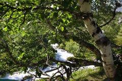 Un abedul en el frente y un río de la montaña en el fondo Fotografía de archivo libre de regalías