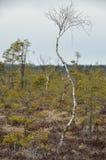 Un abedul enano en la región pantanosa Fotografía de archivo