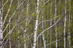 Un abedul es en primavera con las hojas verdes Fotos de archivo