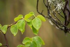 Un abedul hermoso, vibrante se va en un fondo natural después de la lluvia en verano Foto de archivo libre de regalías