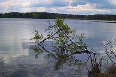 Un abedul roto por un huracán miente en un lago Ozero de Pisochne Región de Volyn ucrania Imagen de archivo