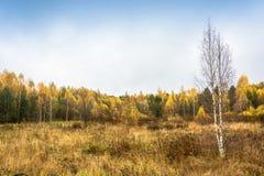 Un abedul solo sin las hojas en un bosque del otoño del fondo Imágenes de archivo libres de regalías