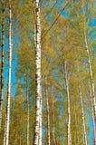 Un abedul verde claro en primavera temprana Árboles finlandeses con colores del contraste en el cielo azul fotografía de archivo libre de regalías