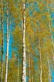 Un abedul verde claro en primavera temprana Árboles finlandeses con colores del contraste en el cielo azul imagen de archivo libre de regalías