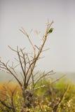 Un abeja-comedor en un árbol Imagen de archivo