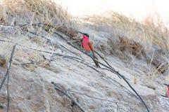 Un Abeja-comedor meridional del carmín fotografió en los bancos del río Zambezi en nido en Namibia Kalizo Fotos de archivo libres de regalías