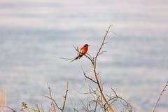Un Abeja-comedor meridional del carmín fotografió en los bancos del río Zambezi en nido en Namibia Kalizo Imagenes de archivo
