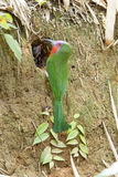 Un Abeja-comedor Rojo-barbudo colorido Imagenes de archivo
