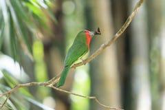 Un Abeja-comedor Rojo-barbudo colorido Foto de archivo