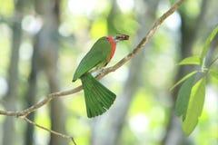 Un Abeja-comedor Rojo-barbudo colorido Imágenes de archivo libres de regalías