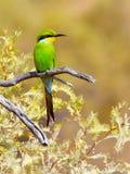 Un Abeja-comedor trago-atado brillante coloreado se encarama en una rama en el parque nacional internacional de Kgalagadi Imagen de archivo libre de regalías