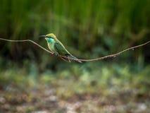 Un Abeja-comedor verde aislado Imagen de archivo libre de regalías