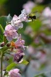 un abejorro diligente Fotografía de archivo libre de regalías