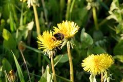 Un abejorro en un diente de león en un prado Imagen de archivo libre de regalías