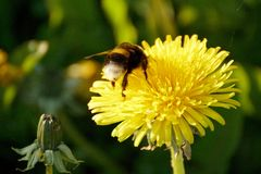 Un abejorro en un diente de león en un prado Fotos de archivo
