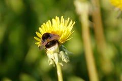 Un abejorro en un diente de león en un prado Fotografía de archivo libre de regalías