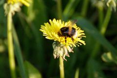 Un abejorro en un diente de león en un prado Imágenes de archivo libres de regalías