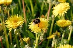 Un abejorro en un diente de león en un prado Foto de archivo libre de regalías