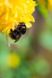 Un abejorro en una flor Fotos de archivo libres de regalías
