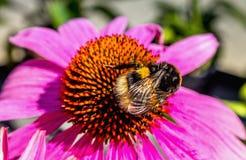 Un abejorro en una flor del echinacea Fotografía de archivo libre de regalías