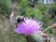 Un abejorro está traslapando su lengua en un cardo de leche Fotos de archivo libres de regalías