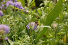 Un abejorro, flores púrpuras y hojas del verde Fotos de archivo