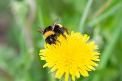 Un abejorro hermoso grande con una pequeña señal alrededor de su cuello recoge el néctar de un diente de león amarillo foto de archivo libre de regalías