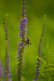 Un abejorro hermoso que recolecta el polen de la flor azul en un prado del verano Imagenes de archivo