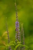 Un abejorro hermoso que recolecta el polen de la flor azul en un prado del verano Imagen de archivo