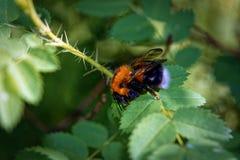 Un abejorro peludo grande en una hoja de un salvaje subió Imagenes de archivo